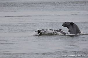 mekong_irrawaddy_dolphin__c_wwf_cambodia_gerard_ryan__1__431383